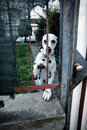 Sad dog dalmatian behind a fence Royalty Free Stock Image