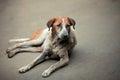 Sad dog homeless sick lying on the pavement and looks haggard Royalty Free Stock Photography