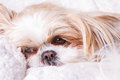 Sad dog laying down on white blanket shih tzu breed Stock Images