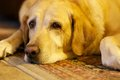 Sad dog a laying on the floor Royalty Free Stock Photo