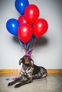 Sad dog a looking with balloons and wearing a funny party hat Stock Photography