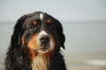 Sad dog looks at camera bernese mountain near sea Royalty Free Stock Photography