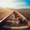 Sad dog in the middle of rail tracks / high contrast image Royalty Free Stock Photo