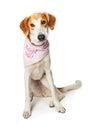 Sad Dog Wearing Adopt Me Bandana Royalty Free Stock Photo