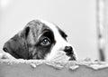 Triste ojos poco perro en ser elegido nuevo