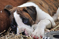 Sad lonely boxer puppy dog laying on grass dreaming of forever home a closeup portrait a very young purebred pedigree pup looking Royalty Free Stock Photos
