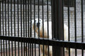 A sad and lonely polar bear in a cage hiding nb the focus is on the Stock Images