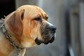 Sad look of old dog Royalty Free Stock Photo