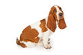 Sad Looking Basset Hound Dog Sitting Royalty Free Stock Photo