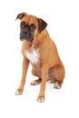 Sad Looking Boxer Dog Sitting Royalty Free Stock Photo