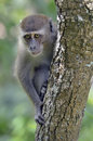 Sad looking monkey in tree long tailed macaque macaca fascicularis Stock Photos