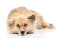 Sad mixed breed dog lying in front.  on white back Royalty Free Stock Photo