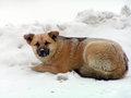 Sad mongrel dog resting upon snow Stock Photos