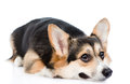 Sad Pembroke Welsh Corgi dog . isolated on white background Royalty Free Stock Photo
