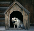 Sad pug dog in the dog house