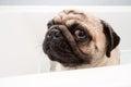 Sad pug a looking don in a bath tub Royalty Free Stock Photo