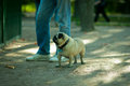 Sad pug looks at animals in a cage zoo park peterhof Royalty Free Stock Photo