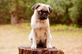 Sad pug puppy Royalty Free Stock Photo