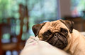 Sad pug relaxing on cough a lays his head the couch a rainy day Royalty Free Stock Photography