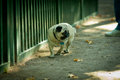 Sad pug in zoo looks at animals a cage park peterhof Stock Image