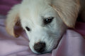 Sad puppy on blanket feel and stay pink Royalty Free Stock Photo