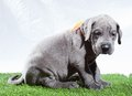 Sad puppy great dane that is sitting on a green mat Stock Images