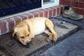 Sad puppy a lying on a door mat Royalty Free Stock Images
