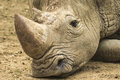 Sad rhino lies with his head on the ground looking Stock Image