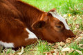 Sad sick cow and lying on the autumn grass Stock Photo