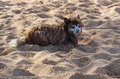 Sad small dog or puppy on sandy beach wet bedraggled and sand covered terrier Stock Photography
