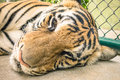 Sad tiger in a zoo cage animal abuse representing Royalty Free Stock Photography