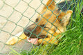 Sad and tired dog german shepherd encaged looking through the fe fence Stock Photo