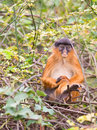 A sad Western Red Colobus monkey Royalty Free Stock Photo