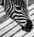 Sad zebra face Royalty Free Stock Photos