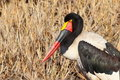 Saddle-billed Stork Royalty Free Stock Photos