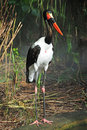 Saddle billed stork Stock Image