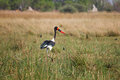 Saddle billed stork in botswana south africa okavango delta of Stock Photo
