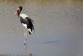 Saddle billed stork ephippiorbynchus senegalensis in the african river Stock Photography