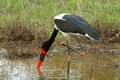 Saddle billed stork ephippiorhynchus senegalensis an endangered specie fishing in kruger national park south africa Royalty Free Stock Photos