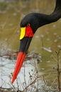 Saddle billed stork ephippiorhynchus senegalensis an endangered specie fishing in kruger national park south africa Stock Photos