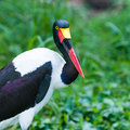 Saddle billed stork female ephippiorhynchus senegalensis at the jurong bird park in singapore Royalty Free Stock Images