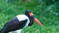 Saddle billed stork female ephippiorhynchus senegalensis at the jurong bird park in singapore Stock Photography