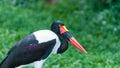 Saddle billed stork female ephippiorhynchus senegalensis at the jurong bird park in singapore Stock Photography