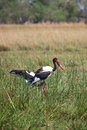 Saddle billed storks in botswana south africa okavango delta of Royalty Free Stock Image