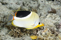 Saddled butterflyfish a chaetodon ephippium uepi solomon islands solomon sea pacific ocean Royalty Free Stock Photography