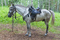 Saddled horse rideable and bridled white standing in forest tied to a tree shot was done in the altai region russia Stock Images