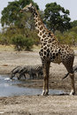 Safari highlights zebra giraffe together at the waterhole with spoonbills blacksmiths plovers Royalty Free Stock Photos