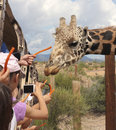 A safari at out of africa wildlife park camp verde arizona july the on july near camp verde arizona tourists feed giraffe carrots Royalty Free Stock Photography