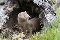 Is it safe a mink coming out of den to pursue prey and food Stock Image