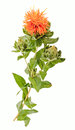 Safflower carthamus tinctorius l is a highly branched herbaceous thistle like annual plant it commercially cultivated for Royalty Free Stock Images